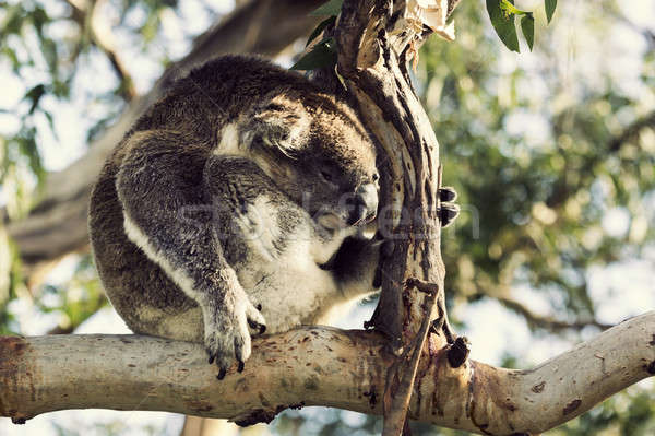 Sleepy koala Stock photo © benkrut
