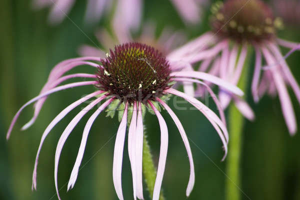 Echinacea Stock photo © benkrut