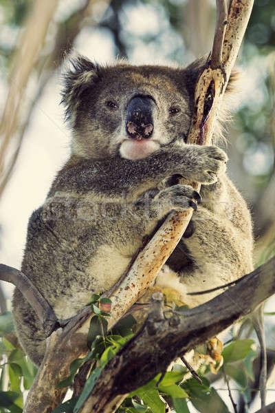 álmos koala szemek utazás orr Ausztrália Stock fotó © benkrut