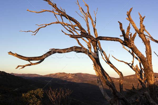 Dry tree above Mt Kosciuszko Stock photo © benkrut