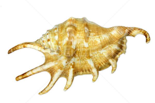 Foto stock: Mar · caracol · isolado · branco · fundo · oceano