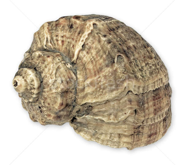 Sea snail isolated Stock photo © berczy04