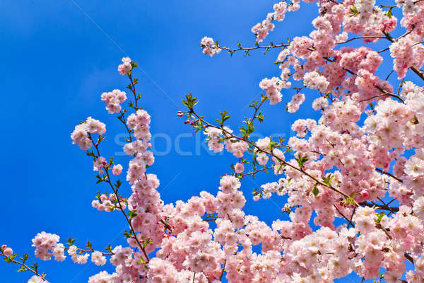 Stock photo: Spring cherry blossoms (pink) and blue background