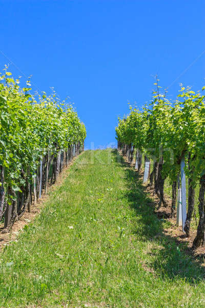 Styrian Tuscany Vineyard near Leutschach, Styria, Austria  Stock photo © Bertl123