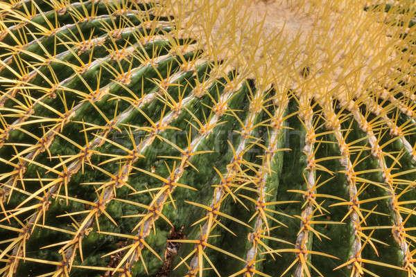 Kaktusz növény közelkép kilátás tűk levél Stock fotó © Bertl123