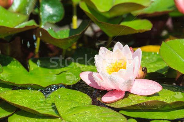 Beautiful purple water lily with water drops  Stock photo © Bertl123