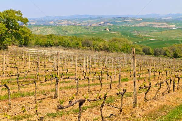 Toszkán szőlőskert Toszkána Olaszország égbolt tavasz Stock fotó © Bertl123