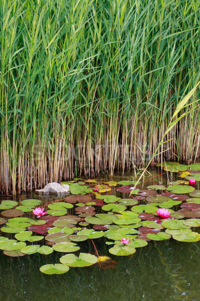 Water lilies and reed Stock photo © Bertl123