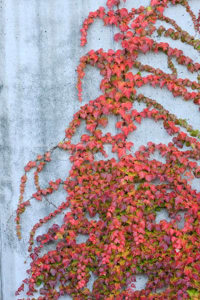 赤 ツタ 壁 太陽 自然 デザイン ストックフォト © Bertl123