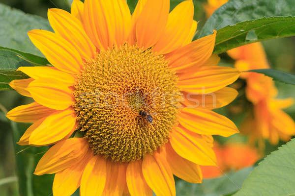 Nap virág méh közelkép égbolt fű Stock fotó © Bertl123