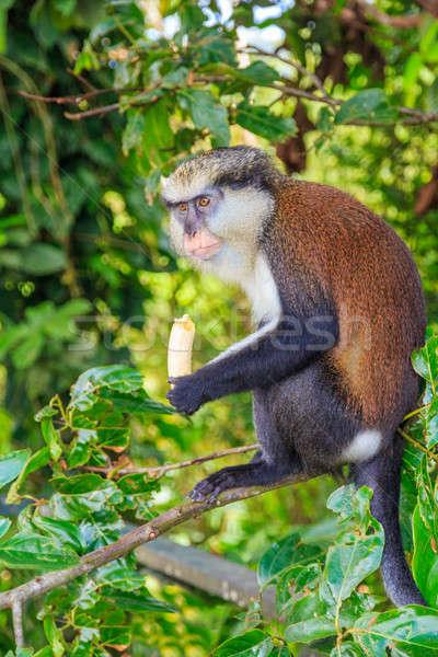 обезьяны банан джунгли стороны природы волос Сток-фото © Bertl123