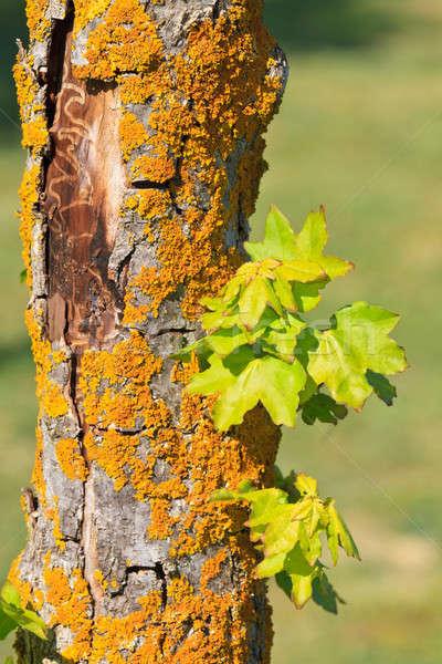 Coloré vieux arbre écorce jeunes vert Photo stock © Bertl123