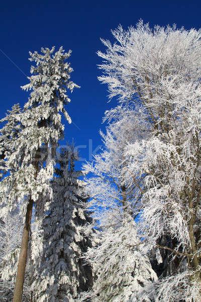 White Winter Wonderland in the Woods Stock photo © Bertl123