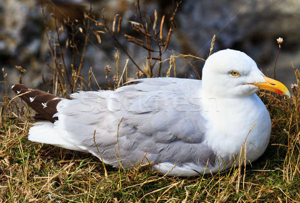 Stock photo: A seagull sitting in its nest