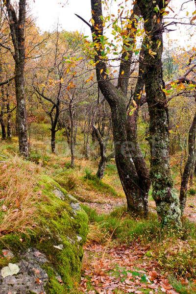 Enchanted Scottish Forest Stock photo © Bertl123