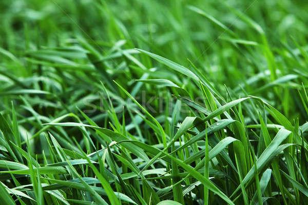 зеленый растущий ячмень области поздно весны Сток-фото © bezikus