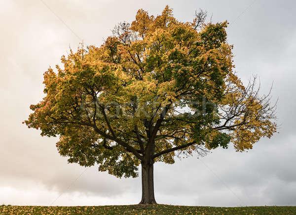 Autumn tree on sky background Stock photo © bezikus