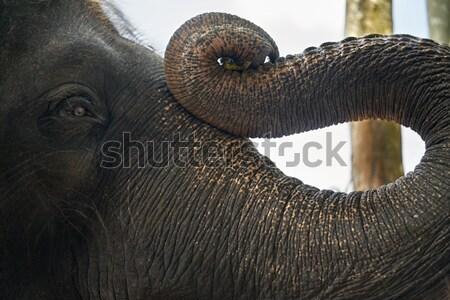 Faccia asian elefante macro foto parco Foto d'archivio © bezikus