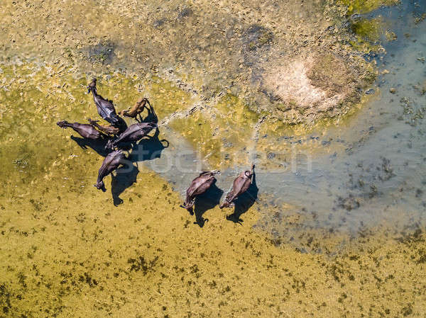 Top view at water buffaloes Stock photo © bezikus