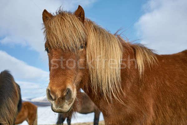 Icelandic horses on field Stock photo © bezikus