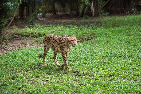 Cheetah walks on grass in zoo Stock photo © bezikus