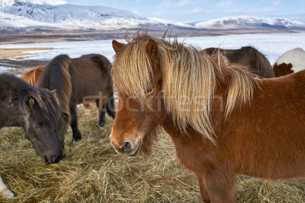 Icelandic horses on field Stock photo © bezikus
