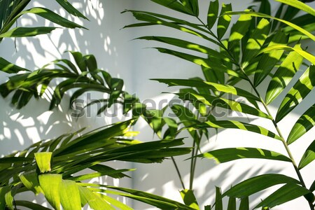 Palmboom bladeren jonge palmbomen licht Stockfoto © bezikus