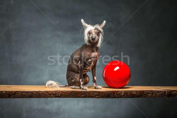 Chinese hond studio vriendelijk Rood Stockfoto © bezikus