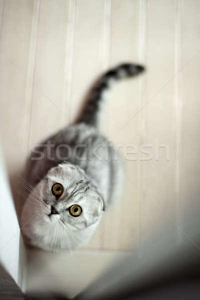 Grey cat Stock photo © bezikus