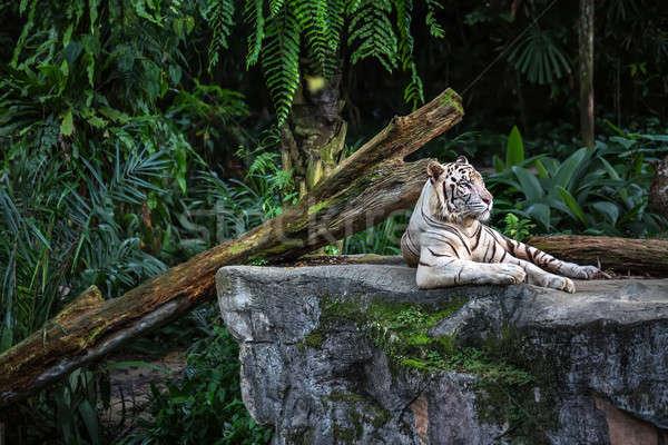 Alb tigru grădină zoologică odihna stâncă Imagine de stoc © bezikus