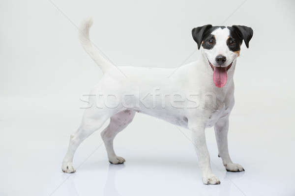 Portrait of a purebred Jack Russell terrier Stock photo © bezikus