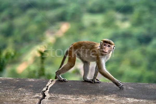 Macaca monkey outdoors Stock photo © bezikus