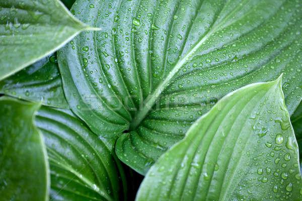 Large green leaves Stock photo © bezikus