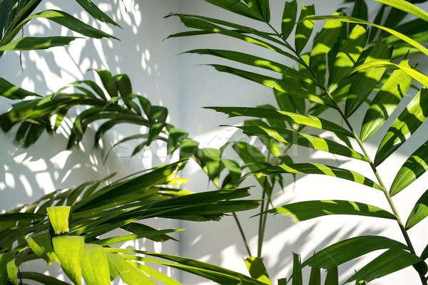 Leaves of palm tree Stock photo © bezikus