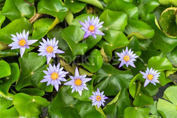 Water lily flowers Stock photo © bezikus