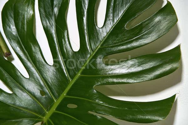 Monstera green leaf Stock photo © bezikus