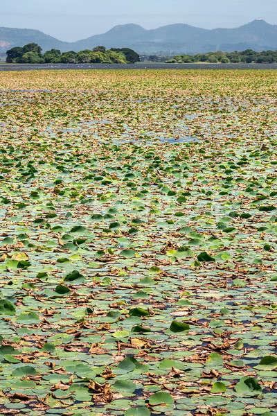 Wiele wody lilie powierzchnia wody rzeki powierzchnia Zdjęcia stock © bezikus