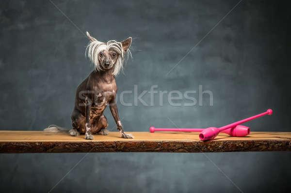 Chinese crested dog in studio Stock photo © bezikus