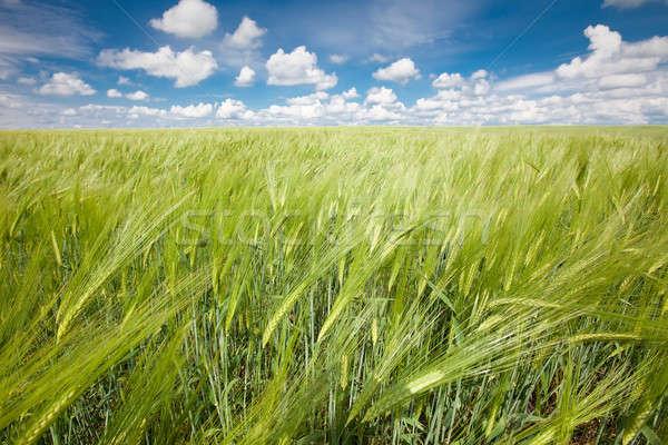 Centeno campo verano paisaje cielo azul primavera Foto stock © bezikus