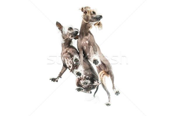 Chinese crested dogs in studio Stock photo © bezikus