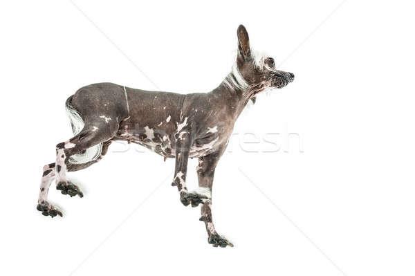Chino perro estudio sin pelo blanco Foto stock © bezikus