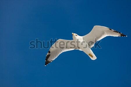 Pływające mewa Błękitne niebo morza lata niebieski Zdjęcia stock © bezikus