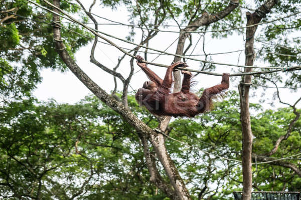 Orangutan is climbing on rope Stock photo © bezikus