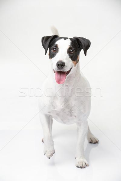 Aranyos jack russell terrier vicces fehér stúdió külső Stock fotó © bezikus