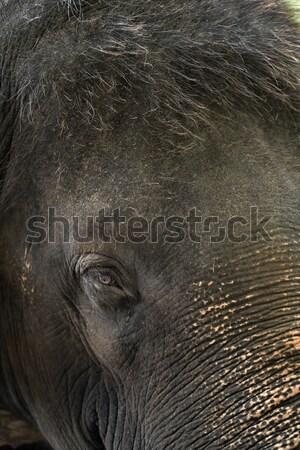 Face of asian elephant Stock photo © bezikus