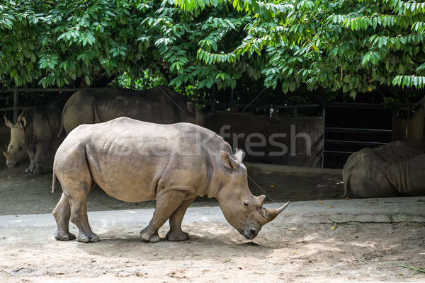Rhinoceros in corral in zoo Stock photo © bezikus