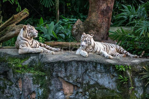Beyaz kaplanlar hayvanat bahçesi iki kaya Stok fotoğraf © bezikus