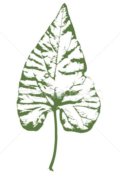 Ivy tipico foglia isolato bianco primavera Foto d'archivio © Bigalbaloo