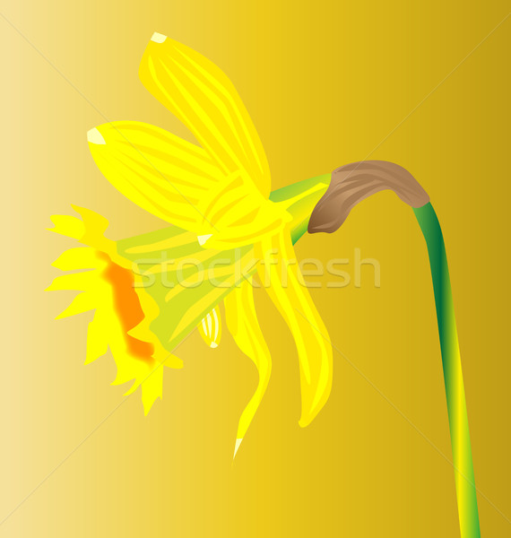 Welsh Daffodil For Saint Davids Day Stock photo © Bigalbaloo