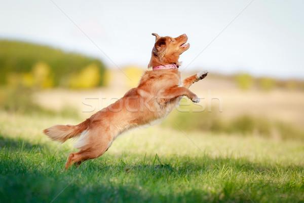 Ugrik kutya levegő fölött zöld fű mező Stock fotó © bigandt